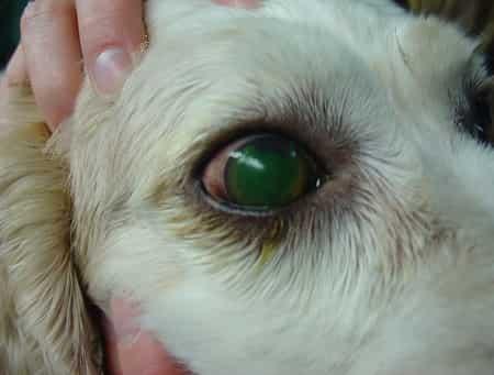 corneal ulcer in dog