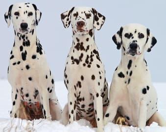 Three Dalmatian Dogs