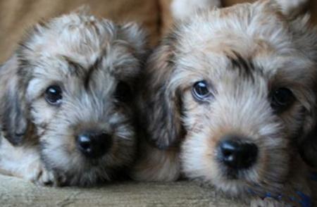 Dandie Dinmont Terrier puppies
