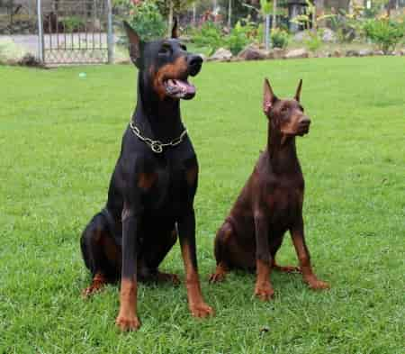 Doberman dogs adult and young