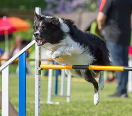 cattle dog jumping hurdles in agility competition