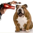 dog being groomed with hair dryer