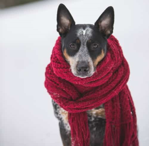 dog in the snow wearing red scarf