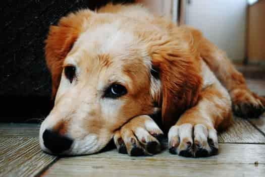 dog lying down facing forward