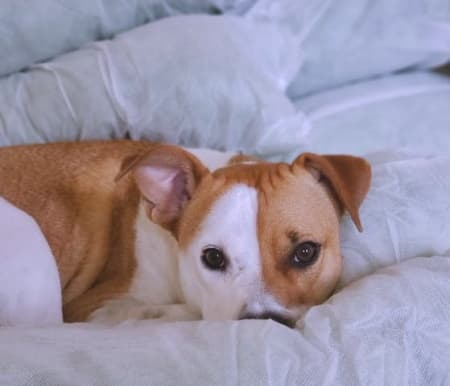 Dog napping on white bed