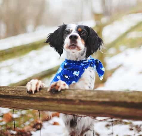 dog wearing bandana with paws on fence on winter day