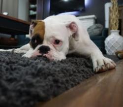 dog lying down on rug