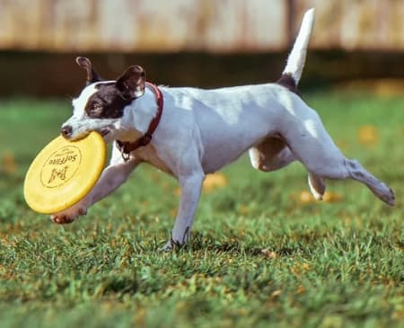 dog running through the grass with frisbee