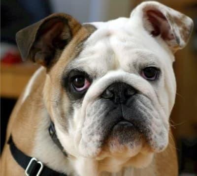 Bulldog full face up close image