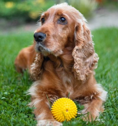 English cocker spaniel dog resting in the glass with a ball