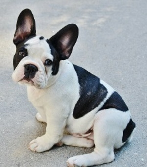 French Bulldog puppy sitting side view