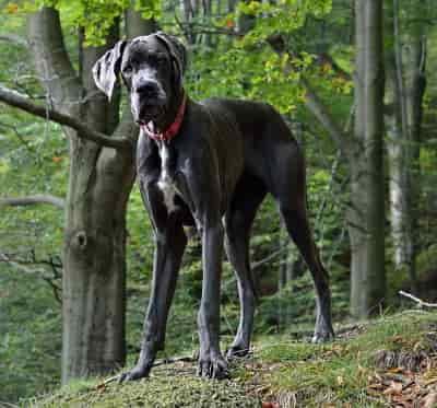 Great Dane dog breed image