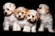 care of pregnant dog - havanese puppies