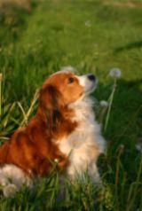 Spaniel In Grassy Field