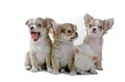 care of pregnant dog, chihuahua puppies