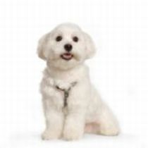 dog dental products, smiling Maltese puppy