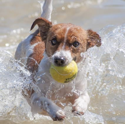 Jack Russell terrier dog retrieving ball in the water