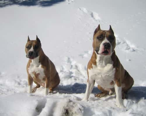 two American Staffordshire Terriers in the snow