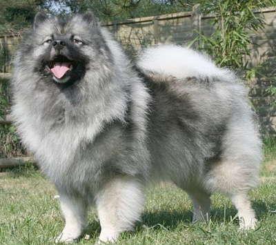 Keeshond dog standing outside in a garden