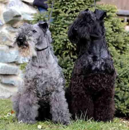 two Kerry Blue Terriers