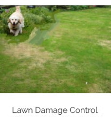 dog urine damage to lawn