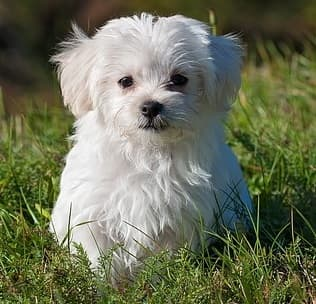 maltese dog sitting in the grass