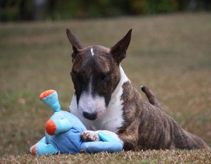 Bull Terrier lying in the grass with toy