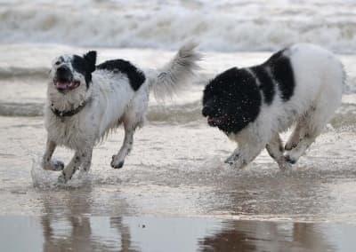 Newfoundland dogs running