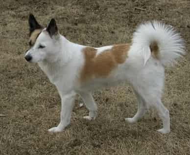 Norrbettenspets dog breed