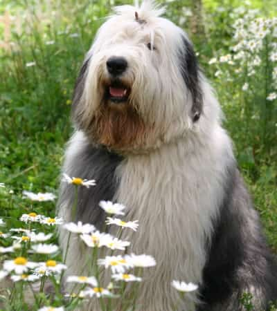 old English sheepdog sitting in the grass
