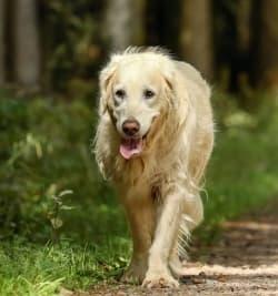 older dog walking outside