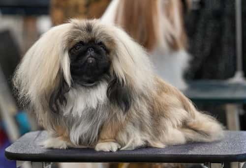 Pekingnese dog
