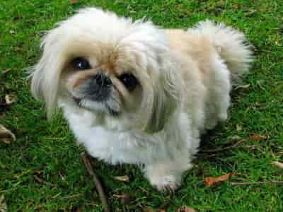 Pekingnese dog sitting in the grass