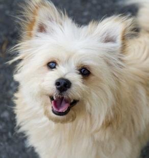 Pomeranian Dog close-up