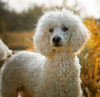 White Poodle dog standing outside in open terrain