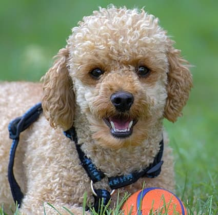 poodle lying in the grass with his ball