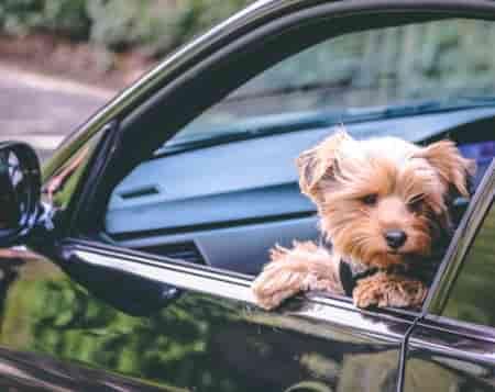 puppy in a car