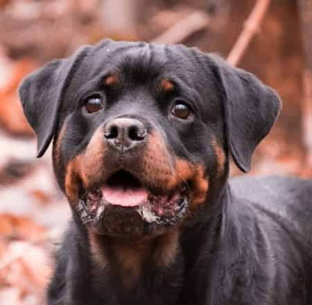 Rottweiler young