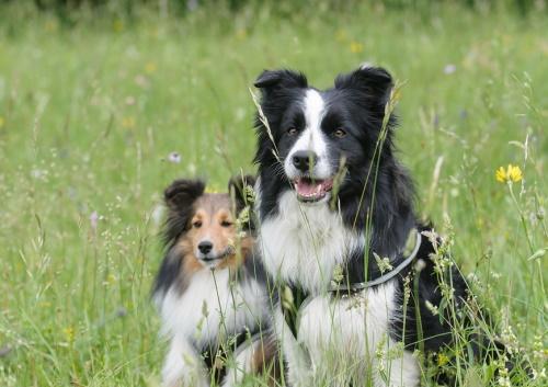 herding dogs in a field