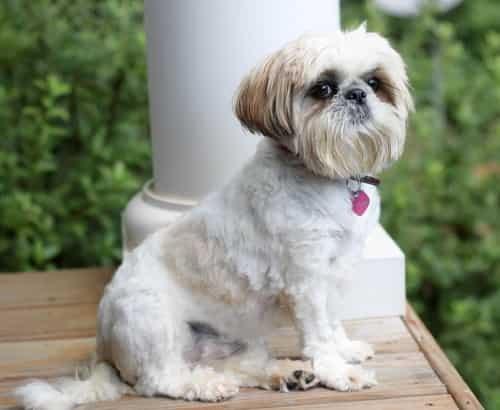Shiz Tzu dog sitting