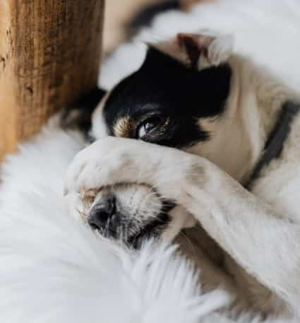 white dog with paw over face