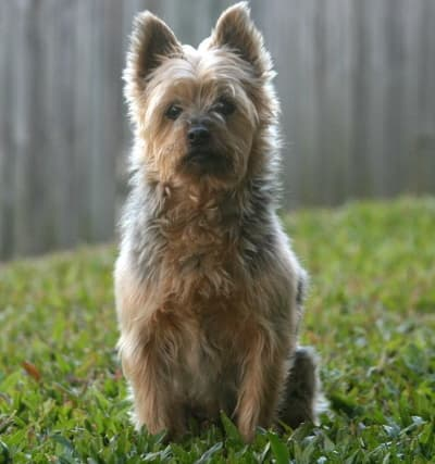 Australian silky terrier sitting outside in the grass