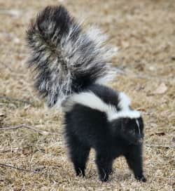 skunk walking in the outdoors