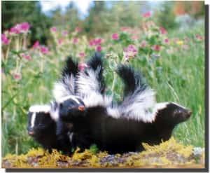 gathering of skunks