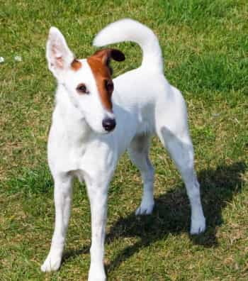 smooth fox terrier white
