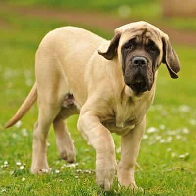 Spanish Mastiff dog