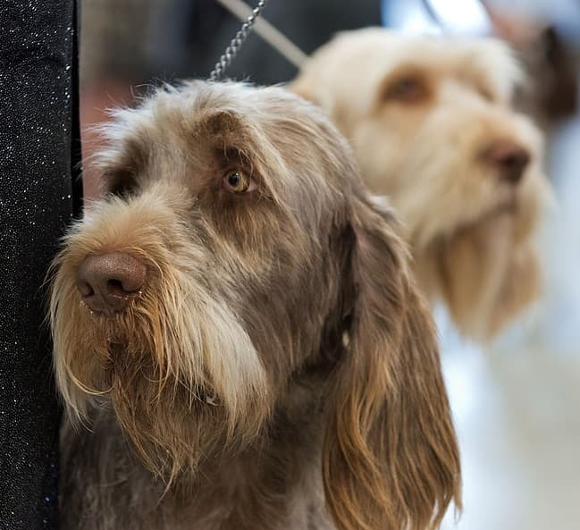 Spinone Dog