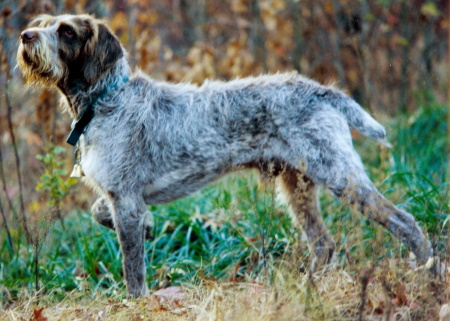 spinone dog breed in the woods