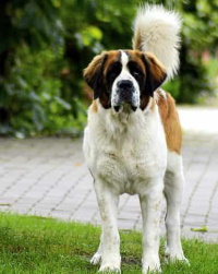 St.Bernard dog