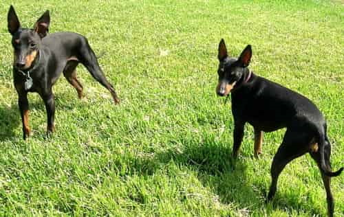 Two Toy Manchester Terriers
